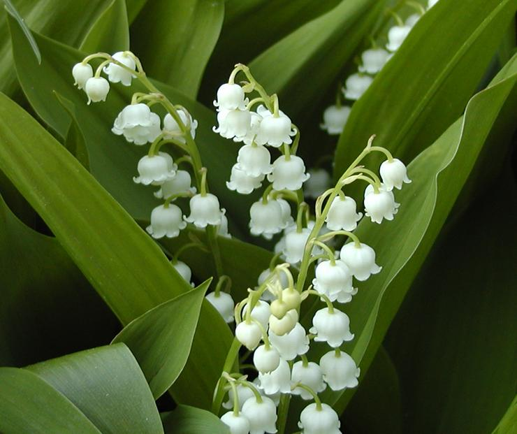 "Lily of the valley"" god's heartbeat pt 1"